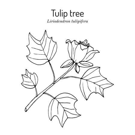 American tuliptree, or tulip poplar liriodendron tulipifera , state tree of Kentucky