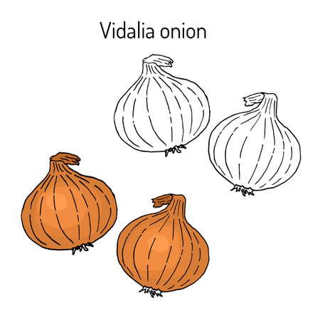 Vidalia onion, the official state vegetable of Georgia Vetores