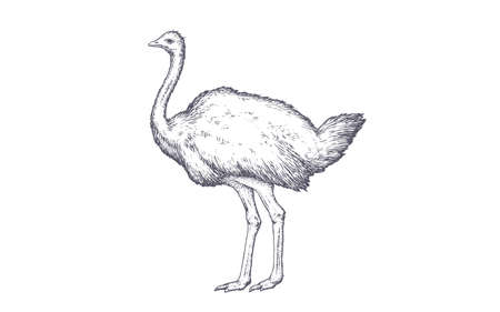 Ostrich. Vintage retro print, black white ostrich drawing, engrave old school style. Sketch artwork silhouette ostrich on white background. Side view profile. Vector Illustration
