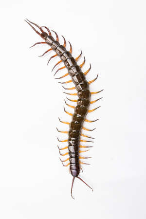 segmented bodies: brown centipede on white background