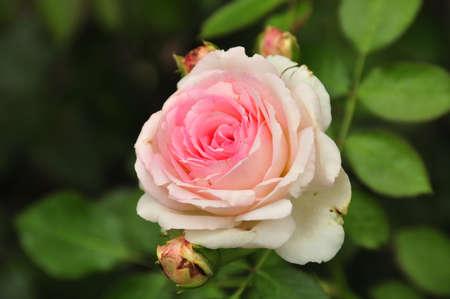 roze: Pink Rose