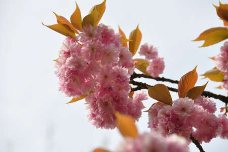 roze: Pink Blossoms 2