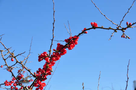 rood: Red Blossoms