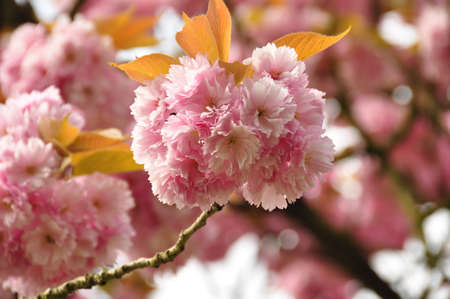 roze: Pink Blossoms