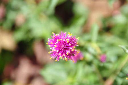 roze: Pink Flower
