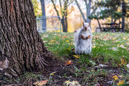 This white squirrel looked straight at the camera in the Montreal parc of Lafontaine during fall