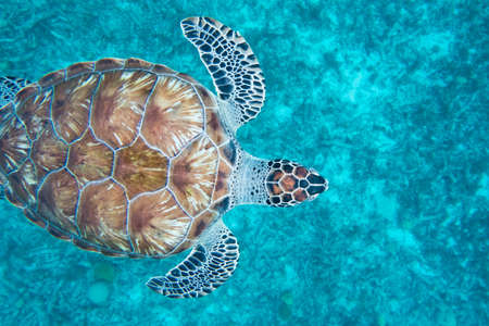 The hawksbill sea turtle (Eretmochelys imbricata) is a critically endangered sea turtle belonging to the family Cheloniidae.E. imbricata is easily distinguished from other sea turtles by its sharp, curving beak with prominent tomium, and the saw-like appearance of its shell margins. Hawksbill shells slightly change colors, depending on water temperature. Foto de archivo