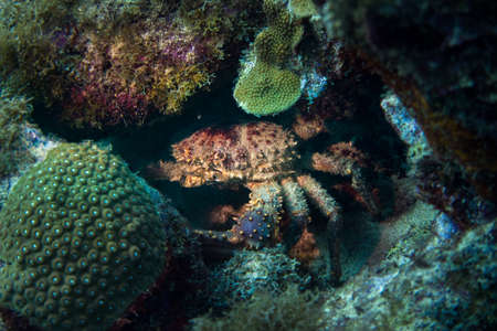 Channel clinging crab. Mithrax spinosissimus, also known as the West Indian spider crab, channel clinging crab, reef or spiny spider crab, or coral crab, is a species of spider crab that occurs throughout South Florida and across the Caribbean Islands. Foto de archivo