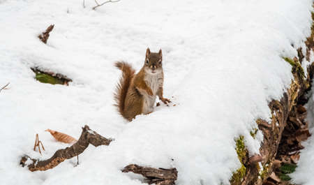Canadian red squirrel looking directly at the camera while eating on a dead tree trunk covered with snow in winter.
