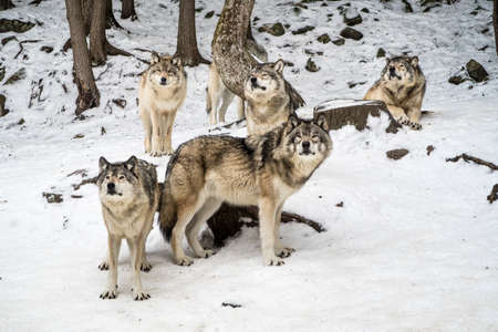 Alpha wolf with its pack chilling, waiting in the snow, winter, omega parc, quebec, canada 免版税图像