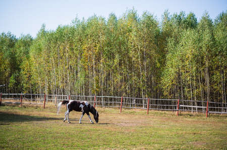 On the paddock in early autumn, a horse walks against the background of the forest. 版權商用圖片
