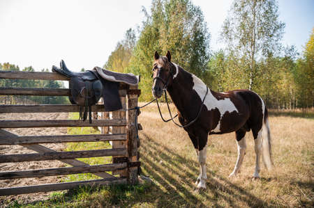 At the fence next to the forest stands a young multicolored stallion