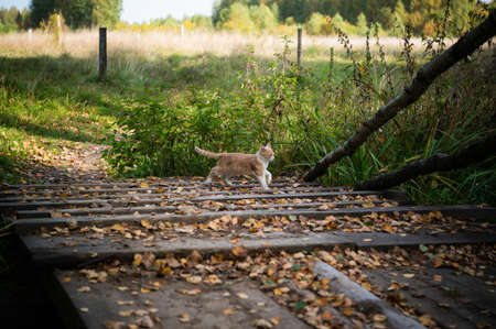 Curious ginger kitten exploring the outdoors on a wooden bridge, covered with leaves Standard-Bild
