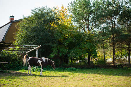 A young stallion grazes at a country house in the backyard