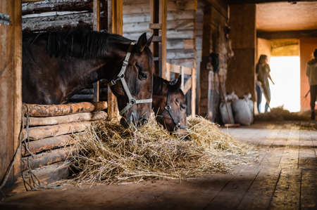 In the wooden stable on the ranch, lunch begins, the owner distributes hay to his horses