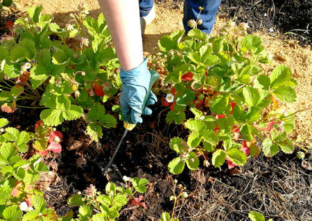 Womens hands with gloves remove weeds on the site with strawberries.