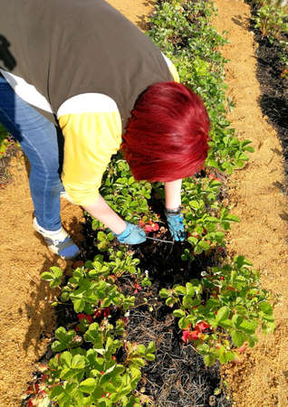 Summer day on the plot. Woman caring for strawberries.