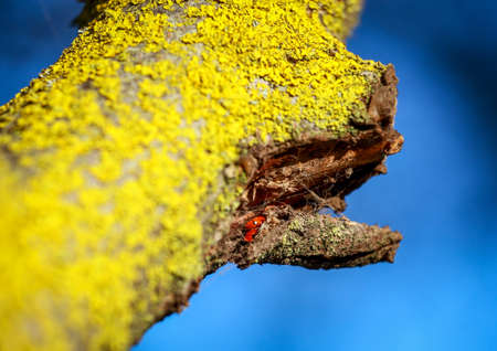 Ladybug sitting on a tree branch. Shes hiding under the bark.