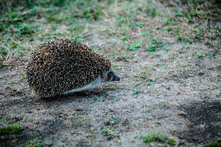 The hedgehog, on a warm evening runs hunting. Imagens