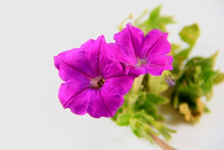 Two purple flowers with pistils and white background photo