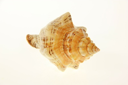 An isolated caute seashell with white background