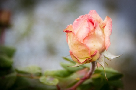 A romantic rose in a morning autumn photo
