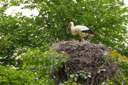 wei: Stork in the nest with babies