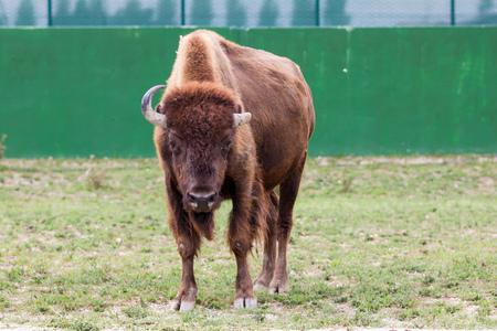 highlander: Highland vaca
