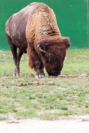 highlander: Highland Cow