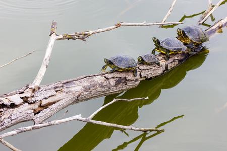 freshwater: Freshwater turtles Stock Photo