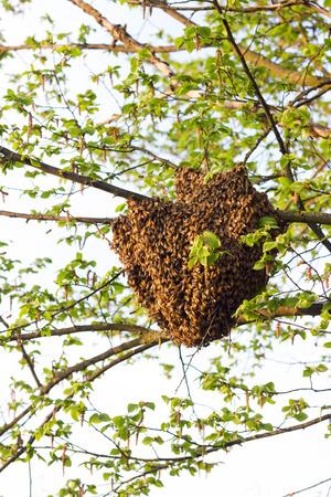 Drone von Bienen Standard-Bild
