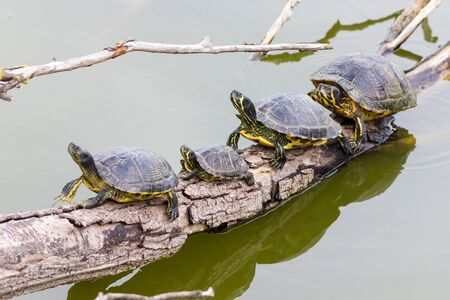 ponds: Freshwater turtles Stock Photo