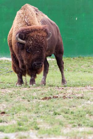 highlander: Vaca De la Monta�a