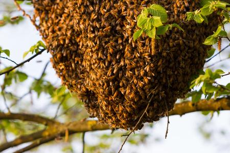 the bee: Drone de las abejas
