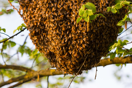 bee swarm: Drone of bees