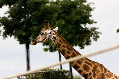 jirafa fondo blanco: Jirafa Foto de archivo