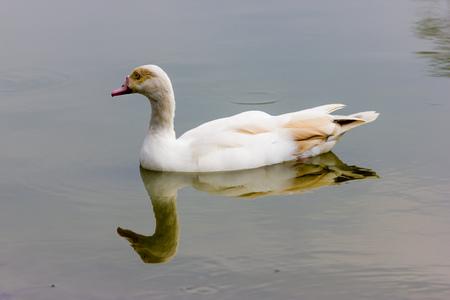 ducks water: Ducks