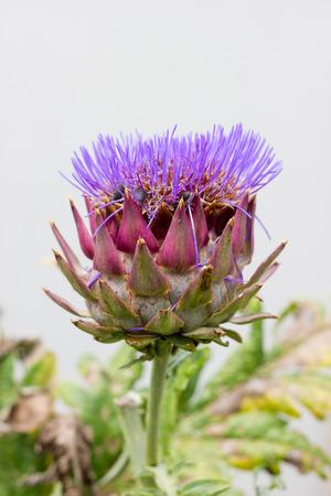 artichoke: Artichoke flowering
