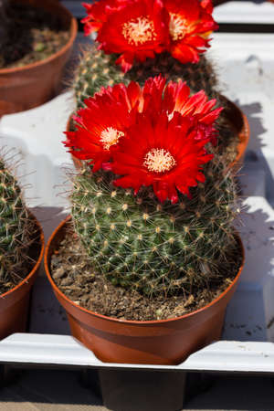 composition: Composition of cactuses Stock Photo