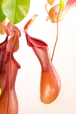 carnivorous: Carnivorous plant