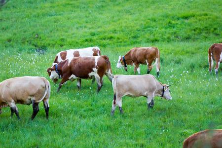 grazing: Cows grazing