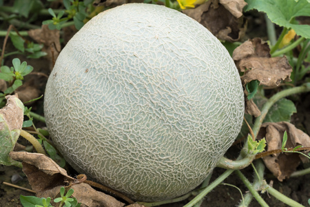 melon field: Meloni attached to plant in the garden