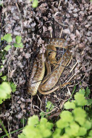 Small Snake hidden in the grass Imagens
