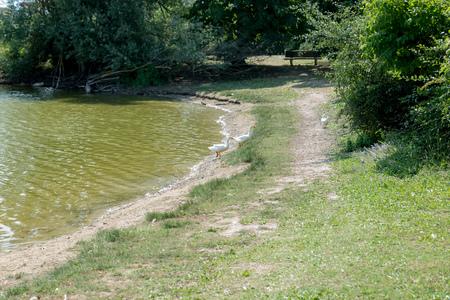 Pair of white ducks Stok Fotoğraf