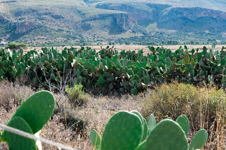 Wonderful Sicilian views with prickly pears Stok Fotoğraf