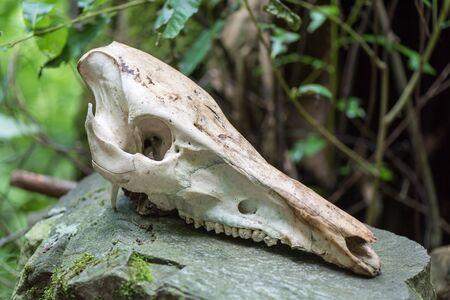 Wild boar skull Stock Photo