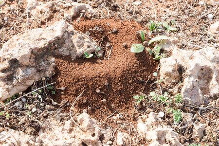 Anthill in Sicilian red soil