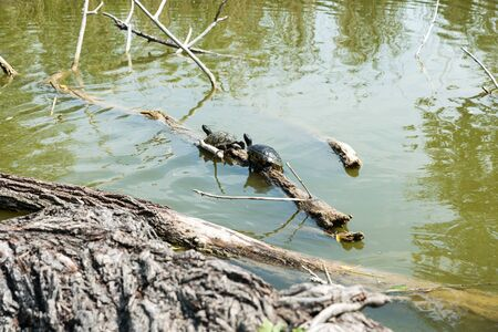 Turtles stretched out in the sun