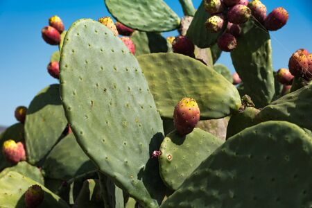 Ripe red prickly pears
