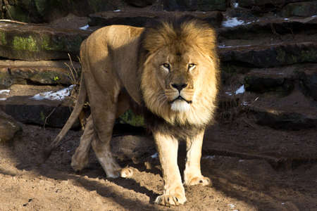 poacher: lion in zoo